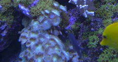 Coral Reef, Swaying Corals, Zebrasoma Flavescens, Fishes are Feeeding Stock Footage