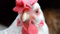 Closeup of a hen's head Stock Footage
