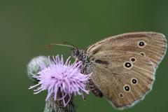 A Ringlet, Aphantopus hyperantus, on a flower. - stock photo