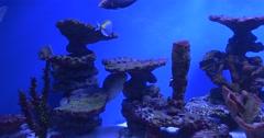 Fishes in Aquarium, Blue-Face Angel, Acanthurus Leucosternon, Clown Coris, Stock Footage