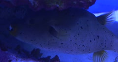 Valentinni's Sharpnose Puffer,Canthigaster Valentini, Between the Stones Stock Footage