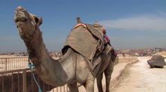 Desert Camel Next to the Pyramids of Giza - stock footage
