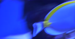 Acanthurus Leucosternon is Swimming, Eating the Corals Stock Footage