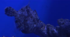 Monacanthus Chinensis And Coris Aygula in Aquarium Stock Footage