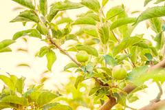 Vintage filter Green apples on apple-tree branch Stock Photos