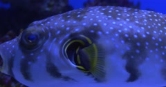 White-Spotted Puffer, Arothron Hispidus, Closeup, Trachinotus Blochii Stock Footage