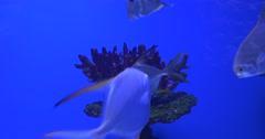 Trachinotus Blochii, Feeding among the Corals, Oceanarium Stock Footage