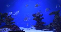 School of Fishes, Trachinotus Blochii, Arothron Hispidus on the Bottom Stock Footage
