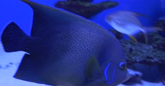 Koran Angelfish,Pomacanthus Semicirculatus,Speckled Blue And Yellow Fish Stock Footage