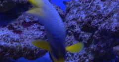 Blue And Yellow Fish, Yellow Tailed Fish, Closeup, Flossil Coral Reef, Little Stock Footage
