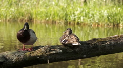 Two mallard ducks are staying on log in water, slow motionHD Stock Footage
