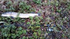 Pike fishing big Northern fish Stock Footage