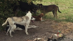 Farm Dog Pack Hanging Out on the Ranch, Medium Shot Stock Footage