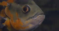 Astronotus Ocellatus, Fish Closeup, Eyes, Mouth Stock Footage
