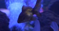 The Goldfish, Carassius Auratus,Sprits of Airy Bubbles, Aquarium Stock Footage