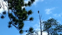 Screaming hawk owl in taiga Stock Footage