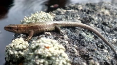 Lizard warmed  in  sun on  island Stock Footage