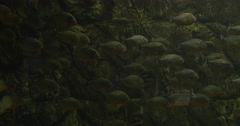 Big School Of Metynnis, Distantly,Fishes Remain Their Places - stock footage