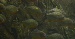 Stock Video Footage of Metynnis, School of Silver Fishes, Fishes Remain Their Places