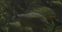 Metynnis, School of Silver Fishes, Darkness, Lamplight Stock Footage