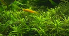 Cardinal Tetra, Paracheirodon Axelrodi and Yellow Fish Stock Footage