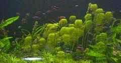 Cardinal Tetra, Paracheirodon Axelrodi, among Green Water Plants, Traking Right Stock Footage