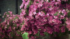 Pink flowers on the Spanish Steps of the Trinita dei Monti Stock Footage