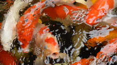 Koi carps swim in the pond Stock Footage