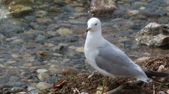 Pretty white ringed-bill gull standing at lake shore Stock Footage
