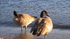 Two Canadian geese by the lake - close up Stock Footage