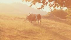Livestock grazing during sunset in an idyllic valley. - stock footage