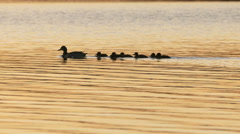 Duck with ducklings swimming at sunset Stock Footage