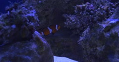 Maroon Clownfish, Premnas Biaculeatus in The Flossil Corals Cave Stock Footage