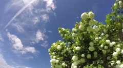 Spring viburnum snowball tree blossoms in wind and clouds. Timelapse 4K Stock Footage