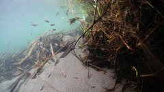 SMALL FISH SWIMMING NEAR SUBMERGED TREE Stock Footage