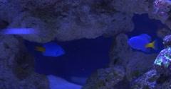 Chrysiptera Parasema, Blue And Yellow Fish, and Moorish Idol, Zanclus Cornutus, Stock Footage