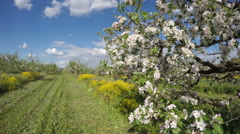 Beautiful blossoming apple tree  orchard garden panorama. Timelapse 4K Stock Footage