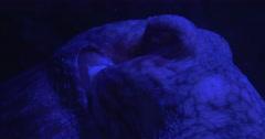 Octopus, Enteroctopus Dofleini, Moving Body, Eye Closeup, Oceanarium Stock Footage