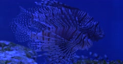 Two Red Lionfish, Pterois Volitans, Striped Coral Reef Fishes Closeup Stock Footage
