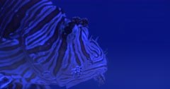 Red Lionfish, Pterois Volitans, Single Striped Coral Reef Fish Closeup, Eyes, Stock Footage