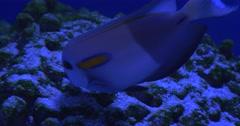 Acanthurus Olivaceus, Single Fish is Eating the Corals in Aquarium Stock Footage