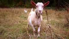 Goats are grazed on a meadow in the fall Arkistovideo