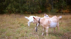 Goats are grazed on a meadow in the fall Stock Footage