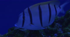 Manini, Acanthurus Triostegus, And Acanthurus Olivaceus, Two Fishes Are Stock Footage
