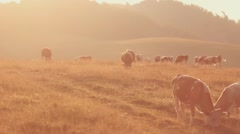 Livestock grazing during sunset in an idyllic valley. Stock Footage