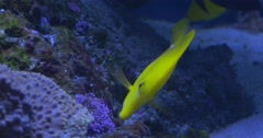 Yellow Tang, Zebrasoma Flavescens, And Spotted Surgeonfish, Ctenochaetus - stock footage