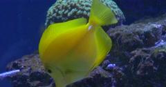 Yellow Tang, Zebrasoma Flavescens, Single Fish Closeup, Green Corals Stock Footage