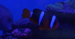 Maroon Clownfish, Premnas Biaculeatus, Fishes on Background, Floating Behing Stock Footage