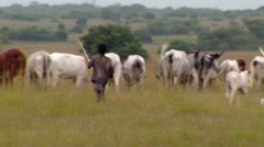 A boy herding cows in Africa. Stock Footage