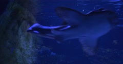 Blacktip Reef Sharks, Animals, are Floating under the Water in Aquarium Stock Footage